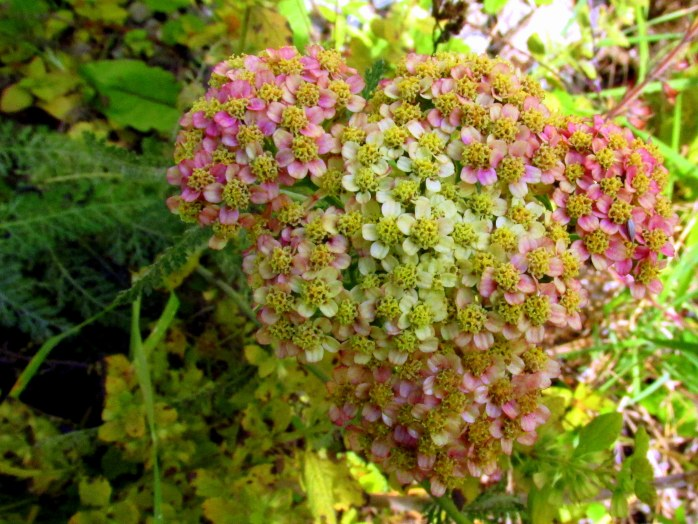 'Summer Pastels' yarrow, 4 Oct.