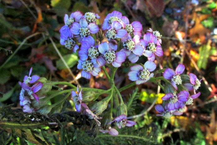 purple 'Summer Pastels' yarrow, fruit guild, 4 Nov