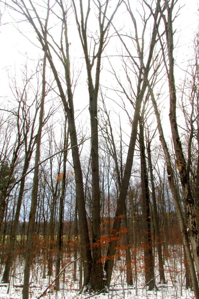 three-trunk oak tree