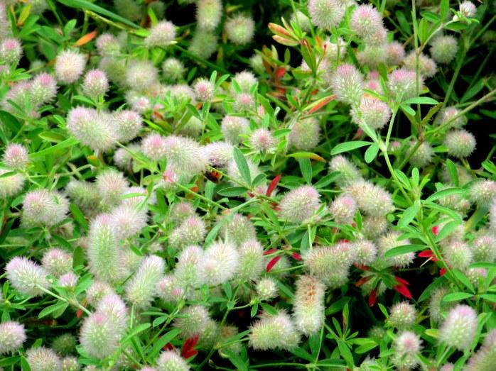 Trifolium arvense (rabbit's foot clover), NH lake, July 2014