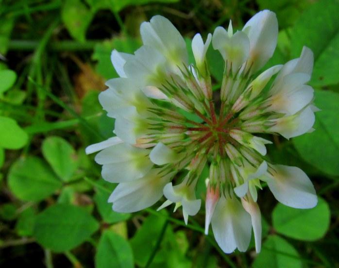 white clover, NH garden, June 2016