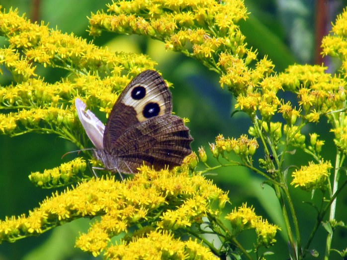 wood nymph on goldenrod, NH meadow, Aug. 2014