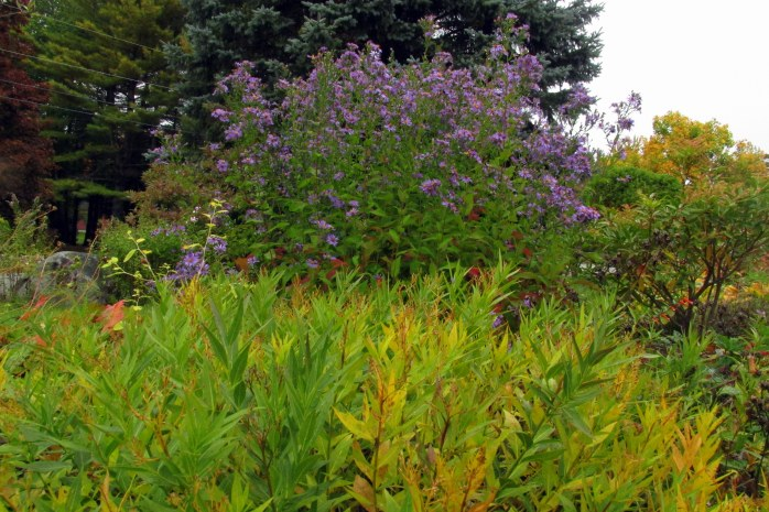 yellow amsonia foliage and 'Bluebird' asters in bloom, 9 Oct.