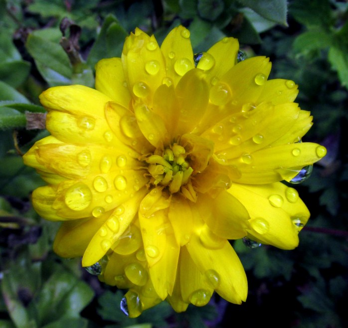 yellow calendula with raindrops, 4 Oct.