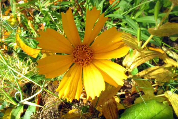 "'butterfly mix"" lance-leaf coreopsis in fruit guild, 19 Oct."