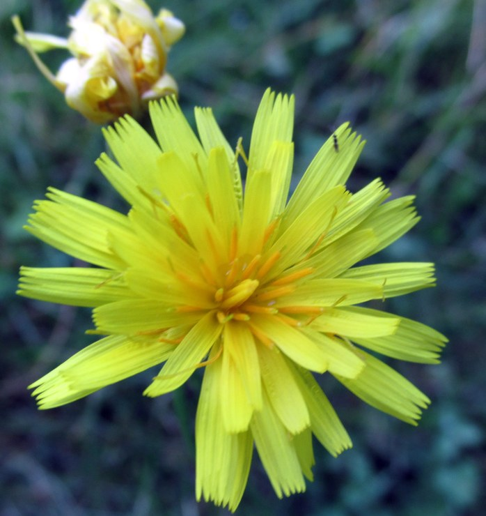 yellow hawkweed, NH garden, Aug 2015