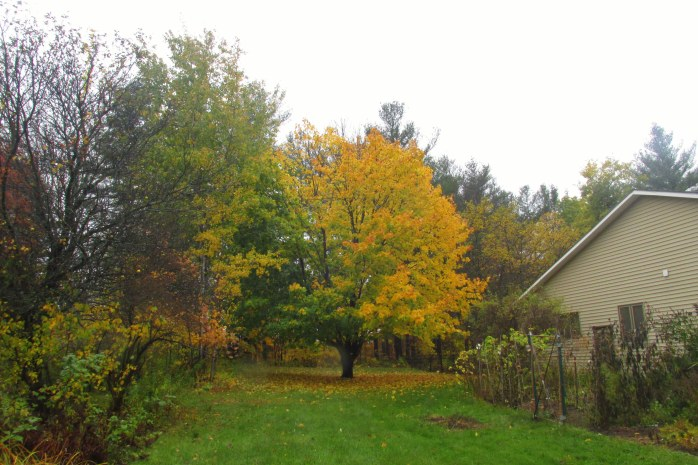 yellow Norway Maple, 22 Oct.