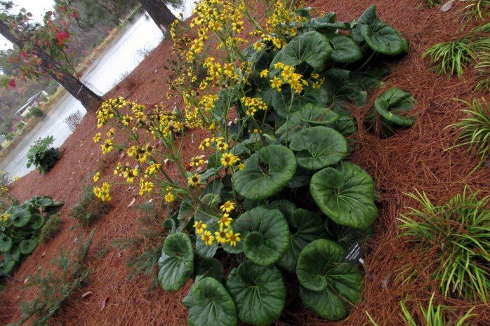 Ligularia tussilaginea 'Gigantea' at Coastal Georgia Botanical Gardens, outside Savannah
