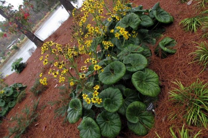 Ligularia tussilaginea 'Gigantea' at Coastal Georgia Botanical Gardens, outside Savannah