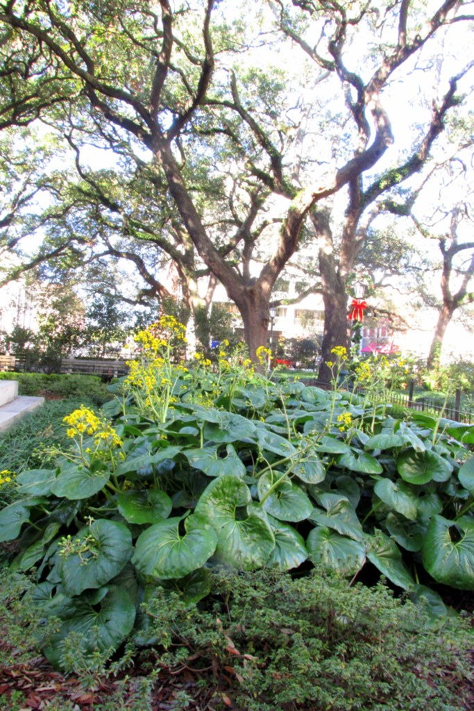 Ligularia tussilaginea 'Gigantea' in a downtown Savannah square