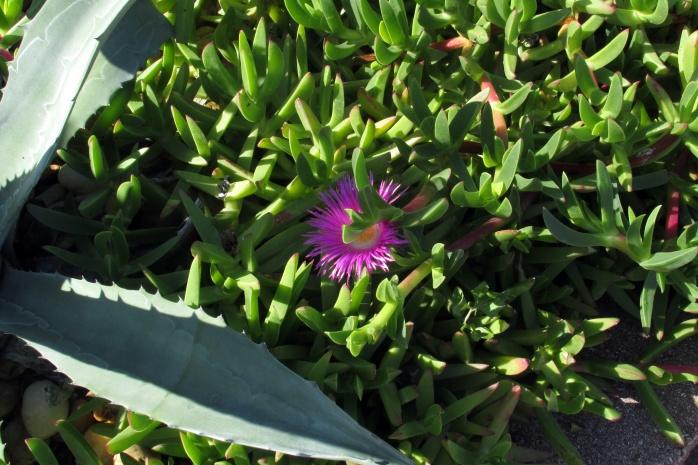 succulentgardenjasmineandfletcherpurpleflowerfernandinabeachfl22dec2016