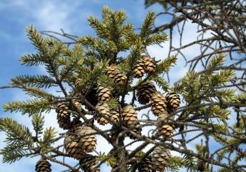 black spruce cones
