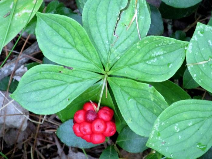 bunchberry, seen in August