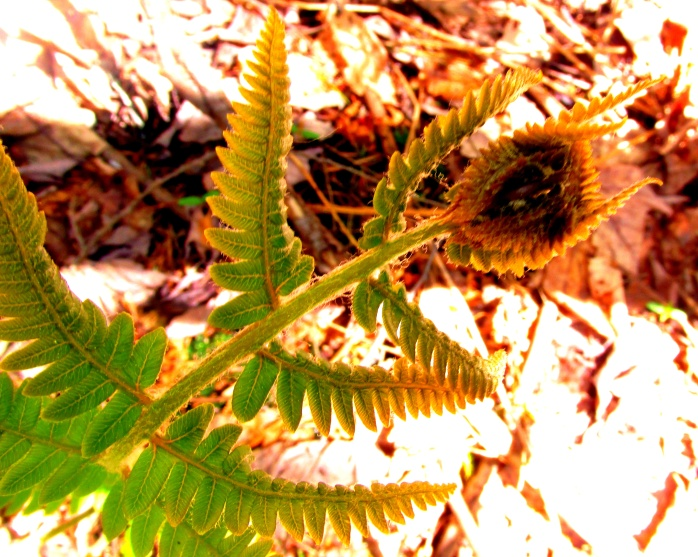 fern, seen in May