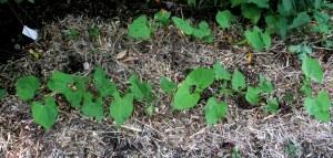 green bean seedlings