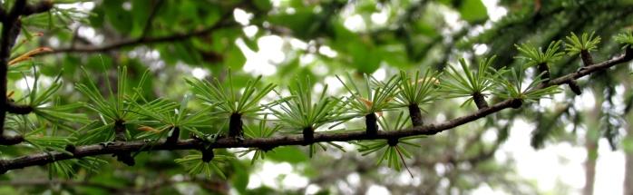 larch branch, seen in August
