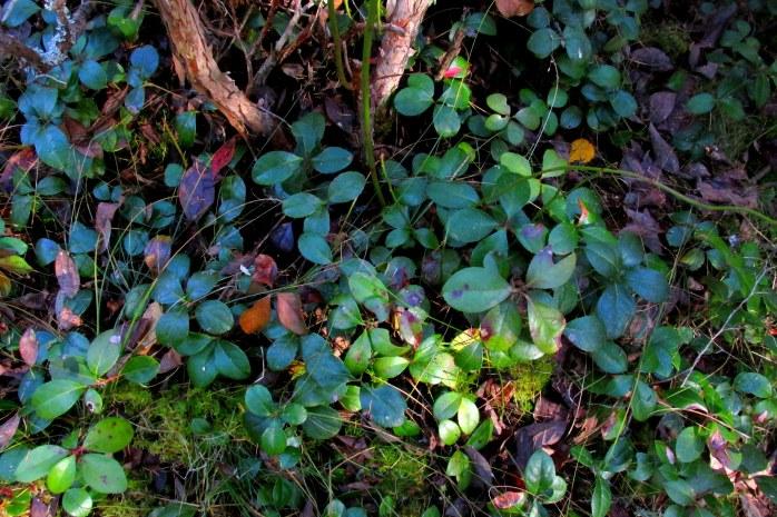 mass of wintergreen, seen in October