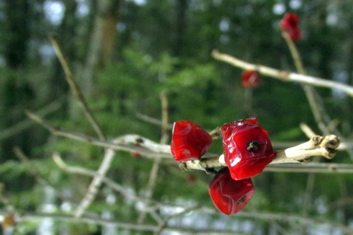 redberriesilexverticillatawinterberrybradfordbognh18feb2017