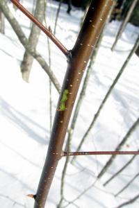 cherry birch bark