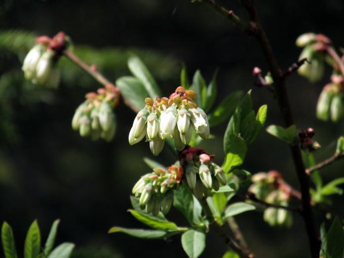 Vaccinium corymbosum (northern highbush blueberry) flowers, seen in May