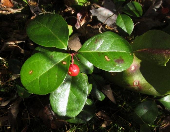 wintergreen, seen in October