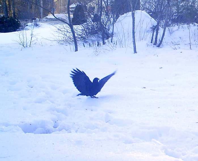 crow landing, 5 January morning