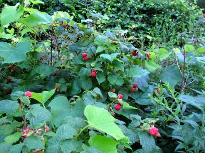 lotsofraspberries12July2013