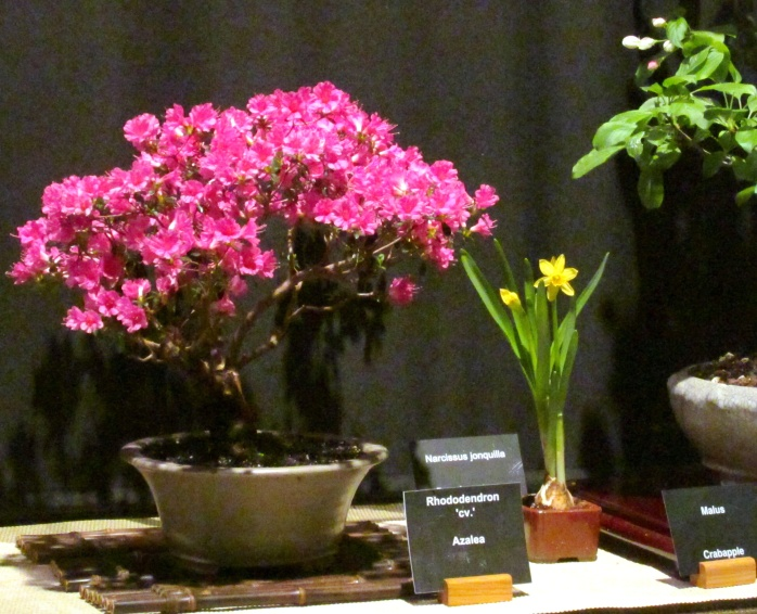 pinkazaleabonsaiBonsaiStudyGroupBostonFlowerShow24March2017