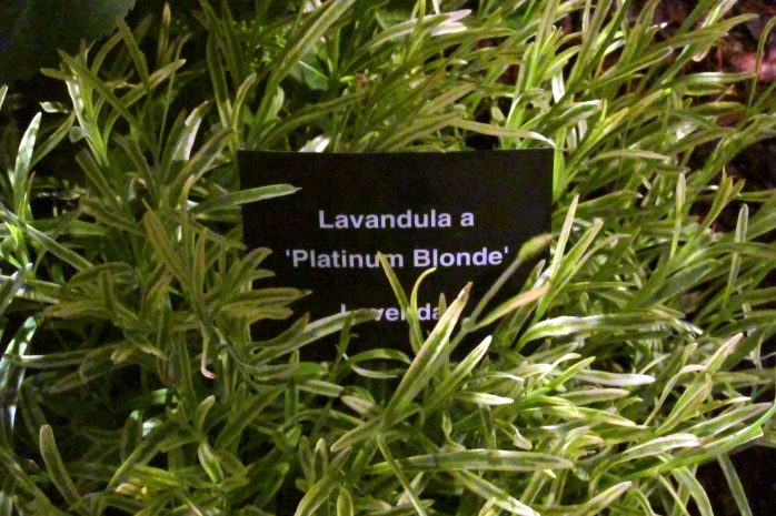 platinumblondeLavenderGardenUpBostonFlowerShow24March2017
