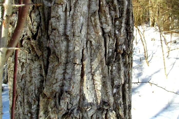 populusdeltoidescottonwoodtreetrunkbarkcloseminkbrooknp23feb2017