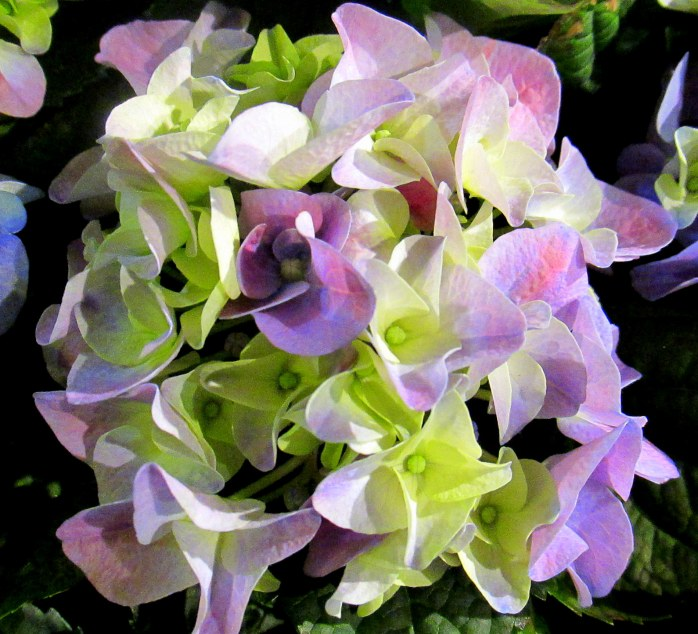 purplegreenhydrangeaflowercloseMartignettiBostonFlowerShow24March2017