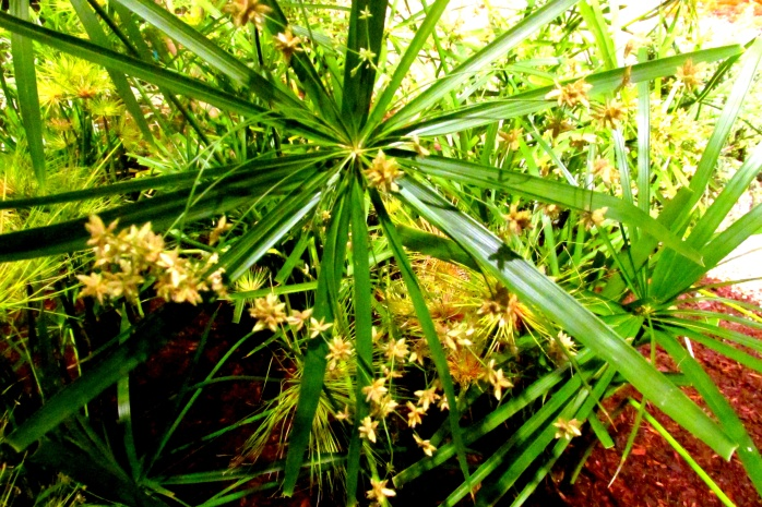 umbrellapalmCyperusAltrenifoliacloseLiquidLandscapeBostonFlowerShow24March2017