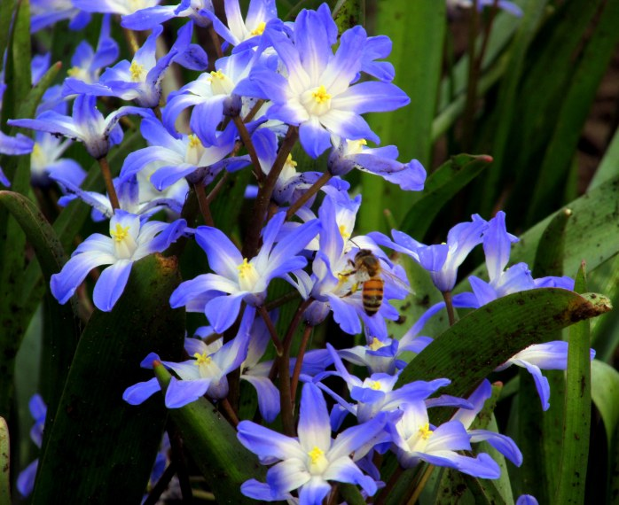 beebluechionodoxaflowerscloseRKGreenwayBoston11April2017