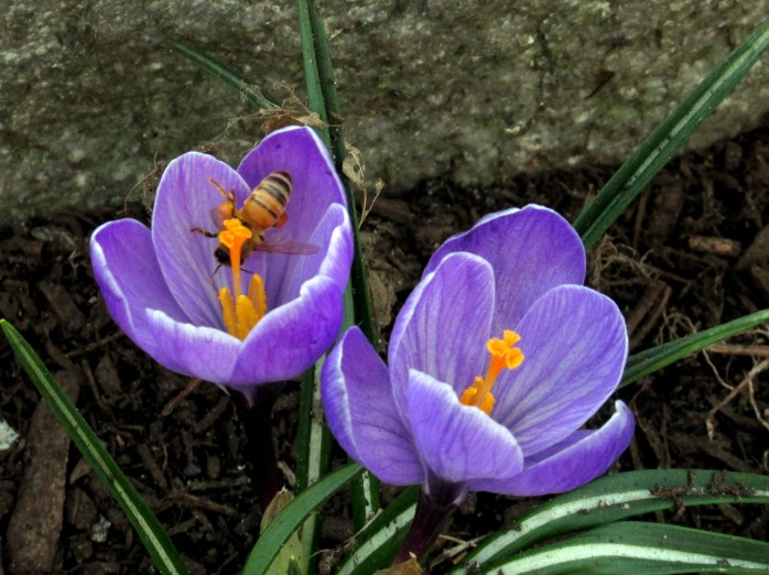 beeinsidepurplecrocusesRKGreenwayBoston11April2017