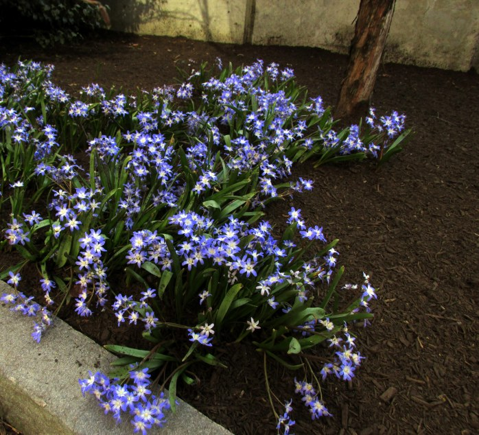 bluechionodoxaplantingRKGreenwayBoston11April2017