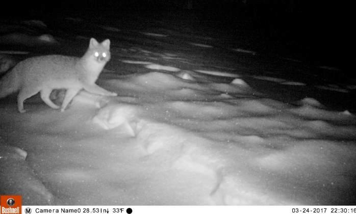 fox in snow 24 March 2017