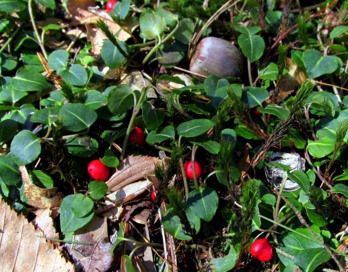 partridgeberryredberriesacornARTKeeneNH9April2017