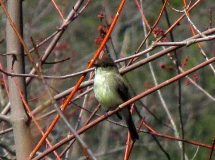 phoebebirdtreeARTKeeneNH9April2017