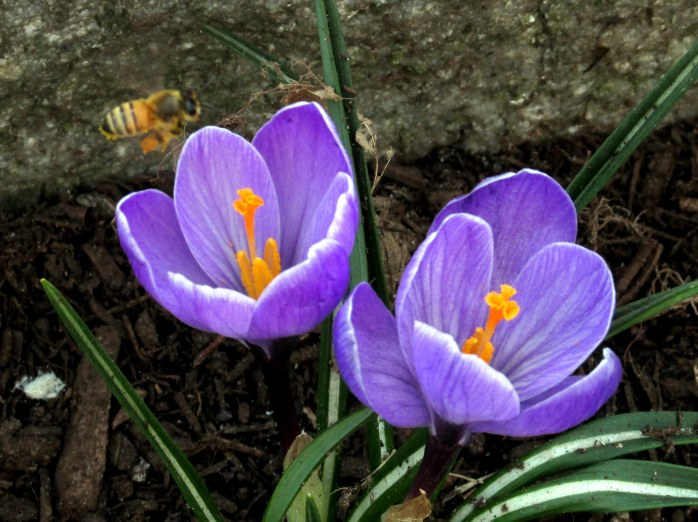 pollenloadedbeehoveringpurplecrocusRKGreenwayBoston11April2017