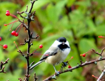 chickadee, Oct 2014