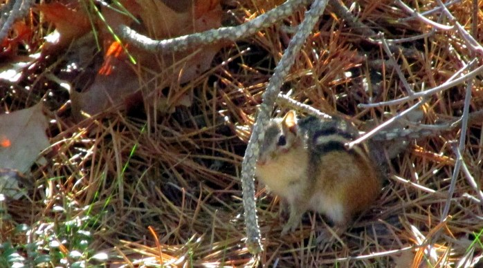 chipmunkobstructedPametTrailsTruroCC28April2017