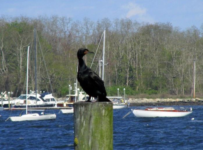 cormoranpostboatsBristolRI7May2017