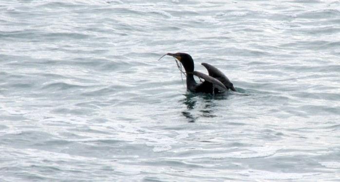 cormorantnestingmaterialoceanbCliffWalkNewportRI9May2017