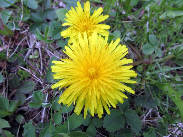 dandelion15May2017