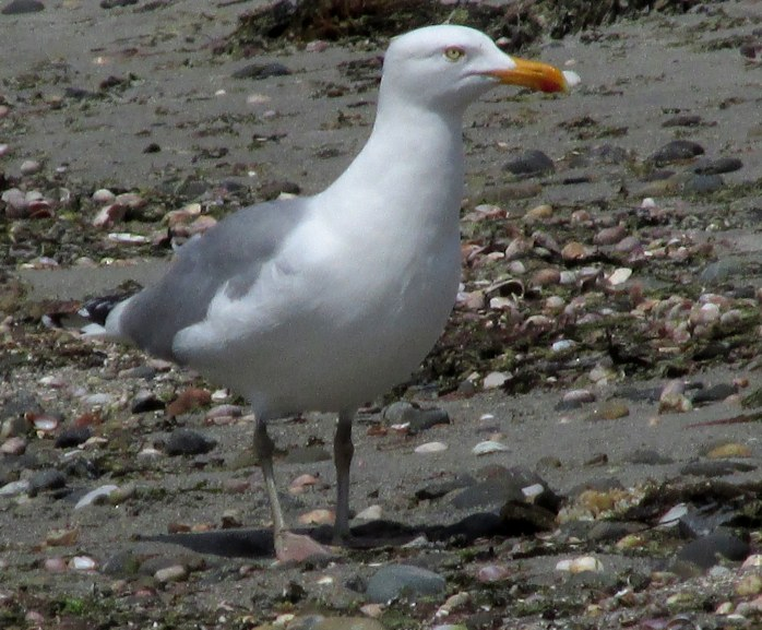 gullbirdclosebeachFoglandBeachTivertonRI9May2017