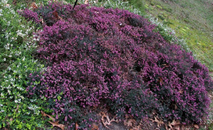 KramersRoteheathpurpleHeritageGardenSandwichMA26April2017
