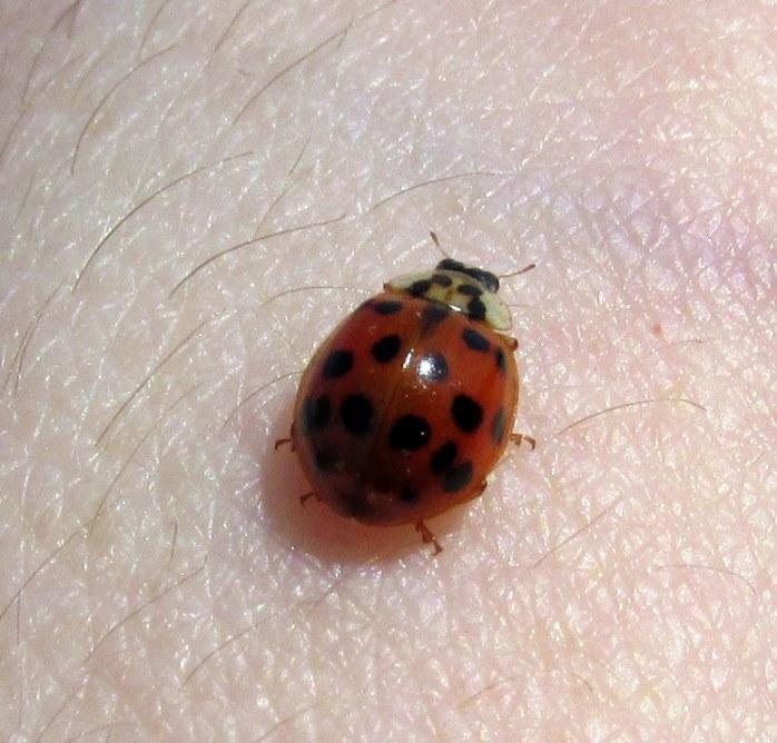 ladybugMollyforearmclosePametTrailsTruroCC28April2017