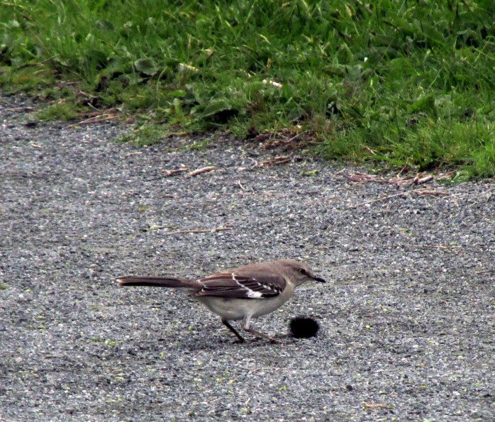 mockingbirdwithsomethingSachuestPointNWRMiddletownRI7May2017