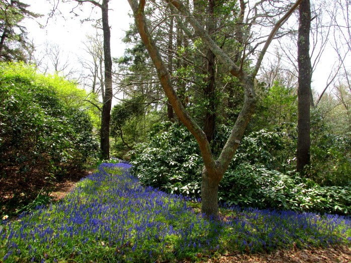 muscaribulbstreamdHeritageGardenSandwichMACC30April2017