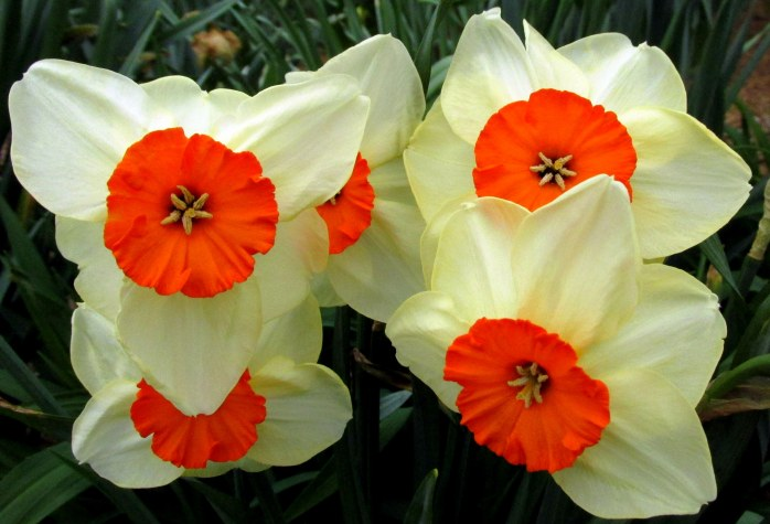 orangecreamdaffodilflowersHeritageGardenSandwichMACC30April2017